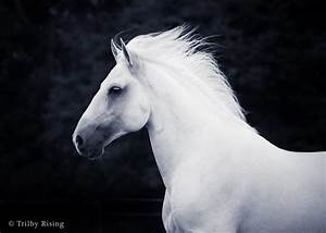 "Lusitano Stallion, ""Zefiro"" 