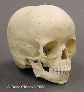 Museum Quality Juvenile Skull Casts
