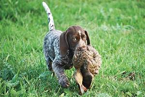 Cocker Spaniel Hunting Dogs For Sale | 1001doggy.com
