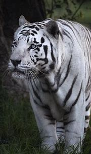 White Tiger HD Wallpaper   Background Image   2000x1429 ...
