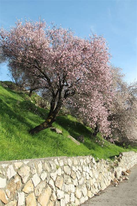 almond trees  bloom  northern israel