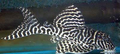 perfect algae eating fish freshwater  tropical tank
