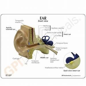 Eye Anatomical Model Normal Human