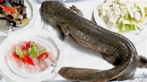 salamandre cuisine earth amazing salamanders are bigger