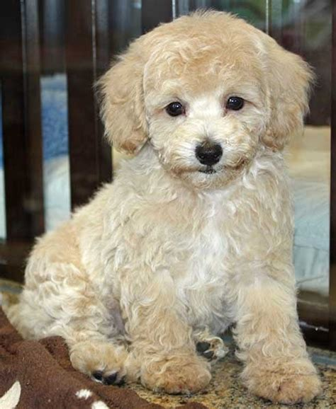 Do Bichon Poodles Shed by Bichon Poodle Mix Puppy Breeds Picture