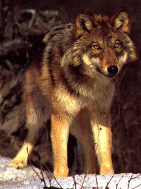 wolf species  north american red wolf