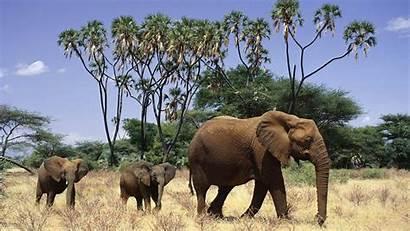 Elephant Elephants African Wallpapers Animals Desktop Backgrounds
