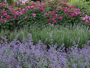 Rosen Und Lavendel : katzenminze lavendel und rosen bilder und fotos garten hecke pinterest garten ~ Yasmunasinghe.com Haus und Dekorationen