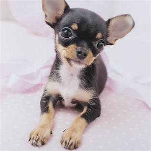30 Beautiful Teacup Chihuahua Puppies