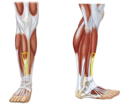Simple exercises to strengthen your feet, part 3. lower-leg-muscles-diagram-human-anatomy-body-anterior-leg ...