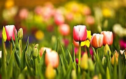 Spring Desktop Mac Wallpapers Pc Tulips Wallpapersafari