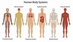 Human Body System Diagram