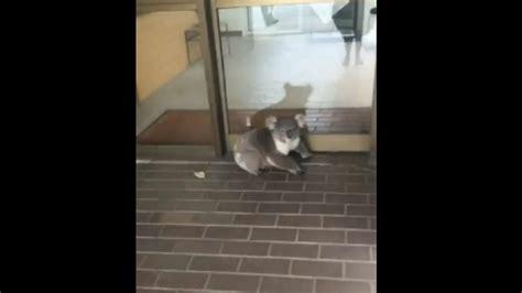 ce koala a une envie folle d aller au bureau
