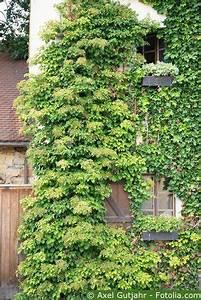 Pflanzen Sonniger Standort : kletterhortensien pflege pflanzen d ngen schnitt ~ Lizthompson.info Haus und Dekorationen