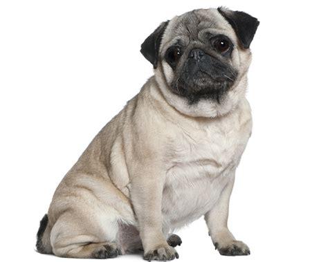 hondenrassen mopshond
