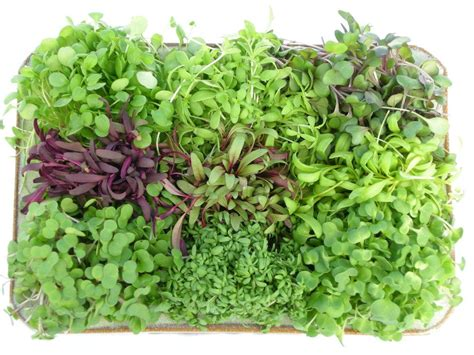 grow greens tips for growing microgreens welcome to todd s seeds