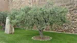 Tuer Un Arbre Avec De L Acide : olivier planter et tailler ooreka ~ Dailycaller-alerts.com Idées de Décoration