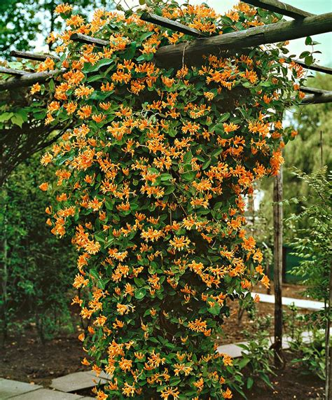 Climbing Plants  Woodworking Projects & Plans