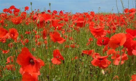 memorial poppy flower legion family flower of remembrance the american legion
