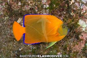 Clarion Angelfish pictures - images of Holacanthus ...