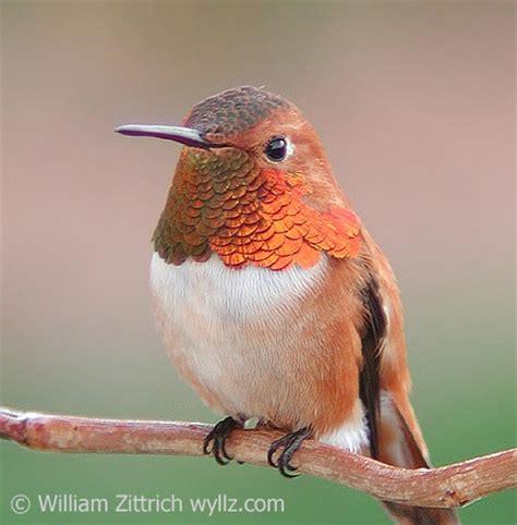 why a gorget glitters birdnote