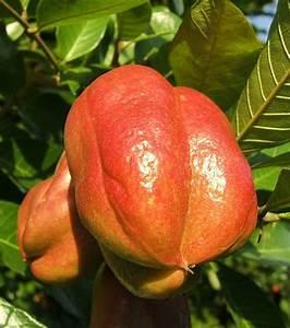 Arbre A Fruit : les 90 fruits et l gumes exotiques tester avant de mourir ~ Melissatoandfro.com Idées de Décoration