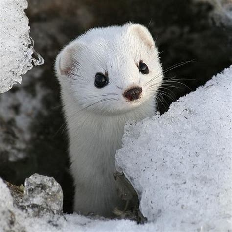 weasel baby weasels animal heart way into zoo