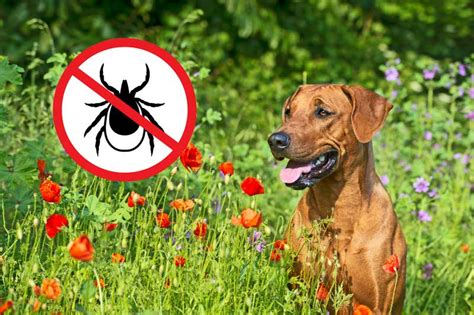 Zeckenschutz Was Hilft Gegen Zecken by Was Hilft Gegen Zecken Bei Hunden