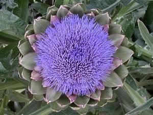 Welche Blumen Kann Man Essen : essbare blumen die als solche seit der antik bekannt sind ~ Watch28wear.com Haus und Dekorationen