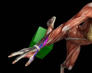 Thumb Muscle Anatomy