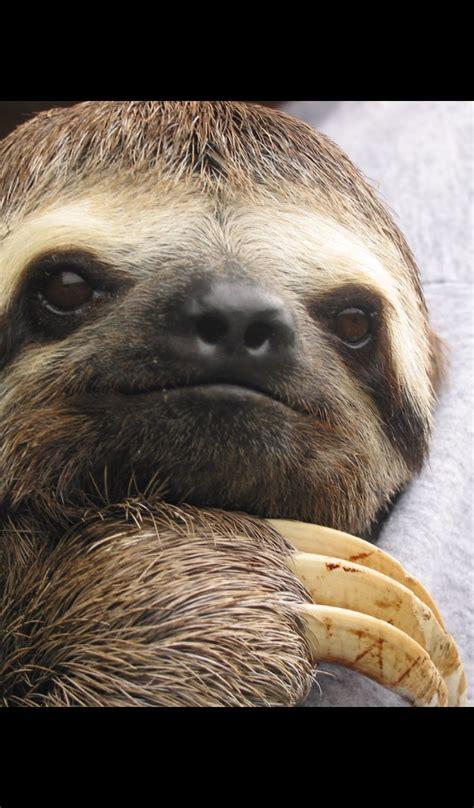 sloth cute sloths wallpapers amazon hd