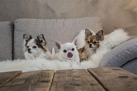 Cani Piccoli Da Appartamento Pelo Corto by Cani Piccoli E Cani Di Piccola Taglia Dogalize
