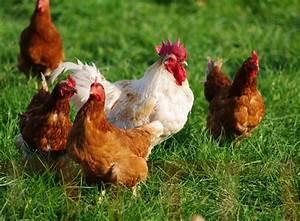 Comment élever Des Poules Pondeuses : produire des oeufs avec ses poules un investissement rentable ~ Dode.kayakingforconservation.com Idées de Décoration