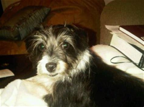 gracie the rat terrier poodle mix allmutt com