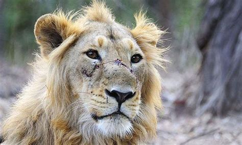 Goods Train Kills Three Endangered Lions In India