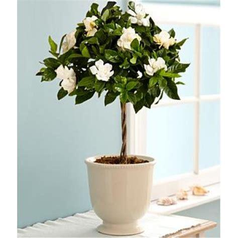 Fragrant Gardenia Topiary