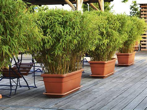 bambu in vaso bamb 249 in vaso bambusoideae giardinaggio mobi