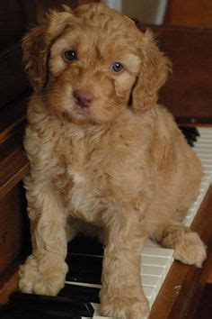 dogs that dont shed labradoodle non shedding dogs a list of small mid sized and large dogs