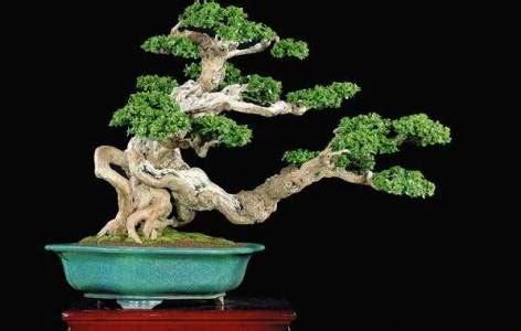 harga tanaman bonsai serut  perbandingannya