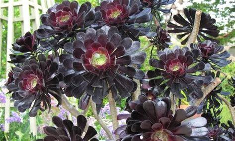 aeonium arboreum special deal aeonium arboreum var atropurpureum zwartkop schwarzkopf black tree aeonium
