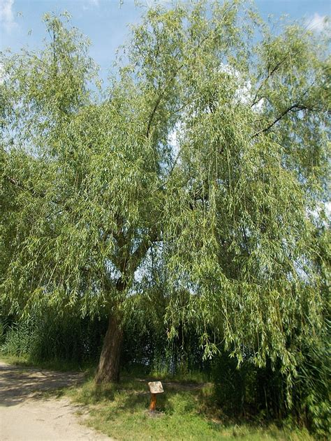 Filewhite Willow June 2016 Gyömrő Pest County Hungary