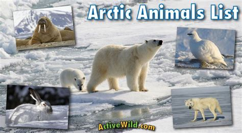 Arctic Animals List With Pictures Facts & Information