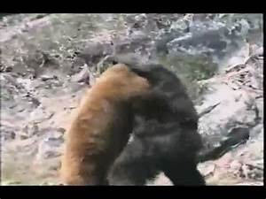 Bear Vs. Gorilla !!!!! [animal fight] - YouTube