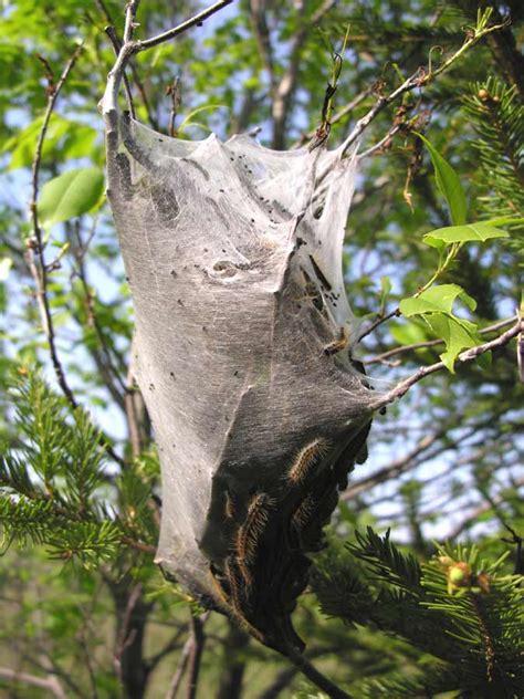 gallery tent caterpillar nest