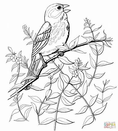Sparrow Coloring Pages Song Bird Titmouse Tufted