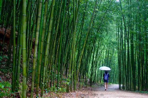 bamboo forest damyang korea tour boseong tea gel fresh face fields soothing onedaykorea