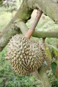 Fresh Durian Fruit on stock photos - FreeImages.com