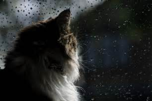 Cat Looking Out Window at Rain
