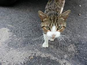 Gallery For > Brown And White Tabby Cat