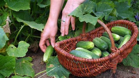 Salatgurken Anbauen Im Eigenen Garten by Gurken Selbst Pflanzen Tipps F 252 R Den Gurkenanbau